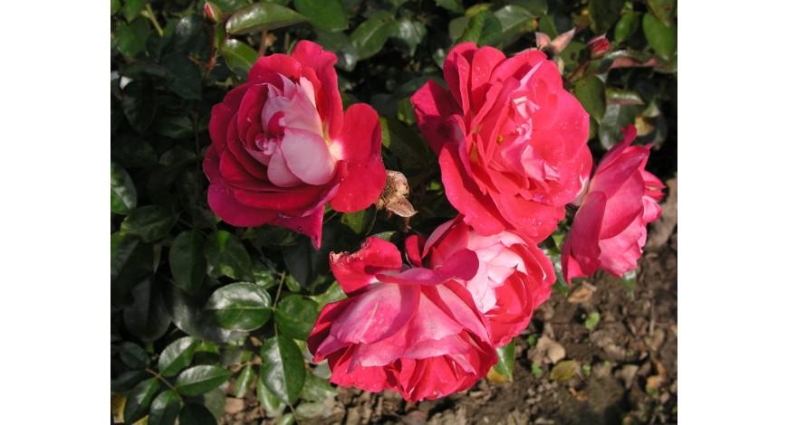 Cербские розы